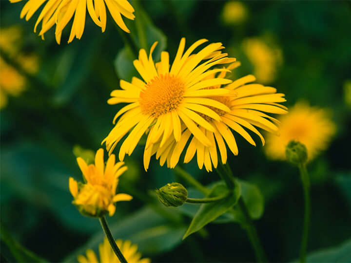 Arnica montana çiçeği nedir?